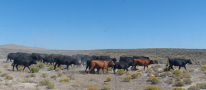 cattle drive, cattlewomen
